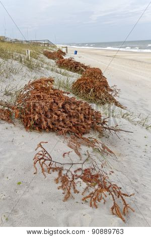Using Old Christmas Trees To Shore Up Sand Dunes