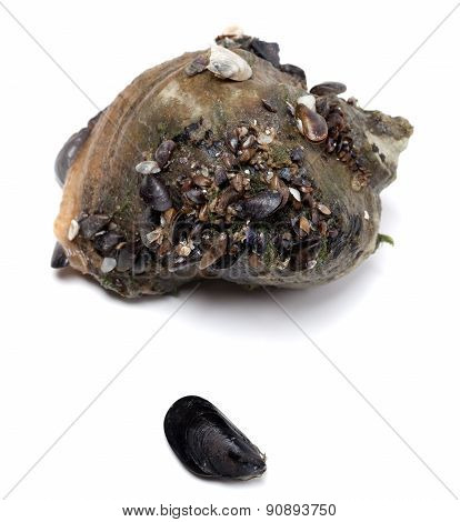 Veined Rapa Whelk And Small Mussel From Black Sea