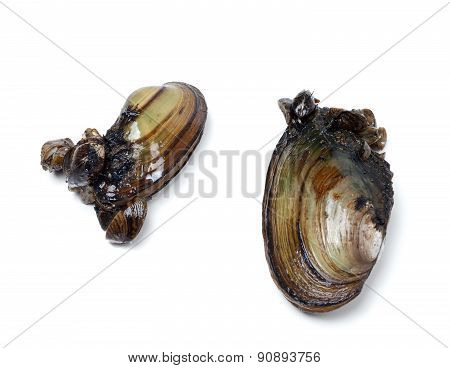 Two Anodontas (river Mussels) Overgrown With Small Mussels