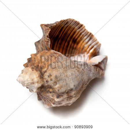 Empty Shell From Rapana Venosa On White Background.