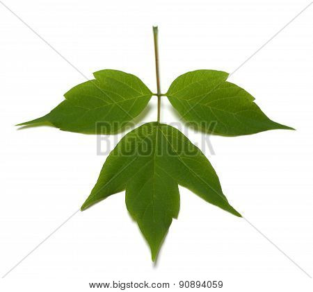 Spring Acer Negundo Leaf. Isolated On White Background