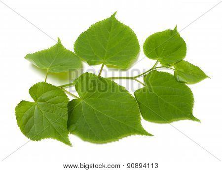Green Sprig Of Linden-tree