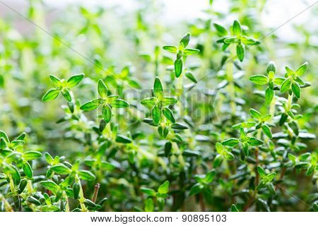 Green thyme leaves close up