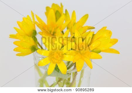 Early spring flowers Ranunculus ficaria bouquet isolated