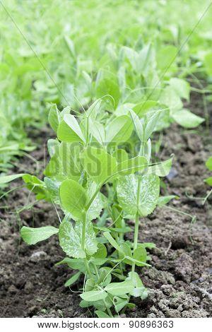 Peas Plants