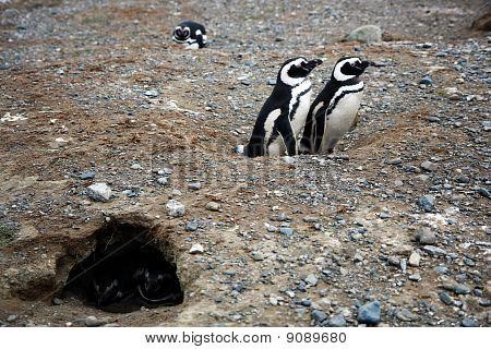 Magellan Penguins On An Island