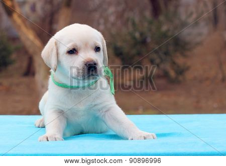 A Labrador Puppy On A Blue Background
