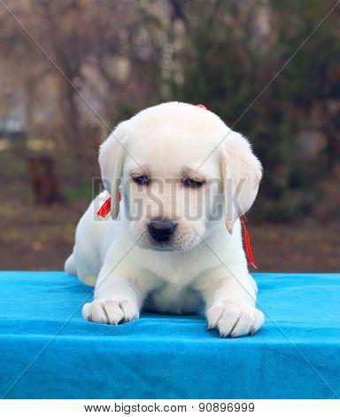 Labrador Puppy On A Blue Background