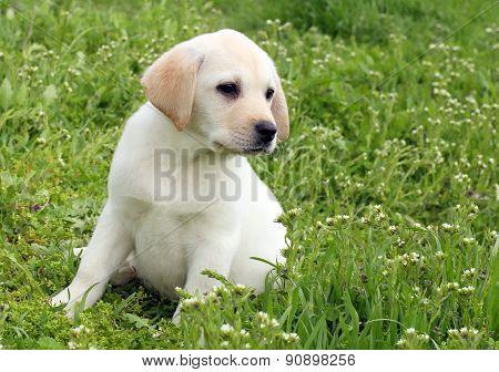 Yellow Labrador Puppy In Green Grass