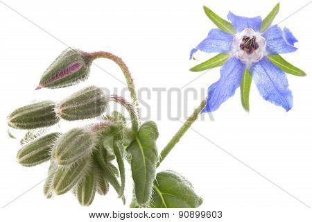 Borretsch (Borago officinalis) plant on white background