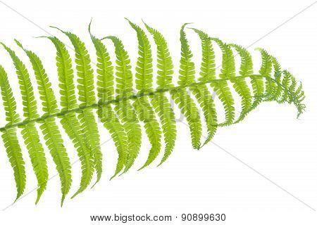 Fern leaf closeup on white background