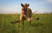 picture of splayed  - Clumsy great Dane with two balls and legs splayed - JPG