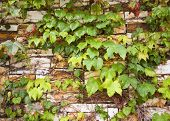 Vines On Stone Wall
