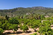 stock photo of orchard  - Orange tree orchard at Fornalutx Mallorca Baleares Spain - JPG