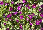 picture of small-flower  - crimson small flower blooming in the garden