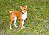 image of larynx  - The Basenji is on the grass in the park - JPG