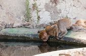 picture of gibraltar  - Barbary macaque monkey in Gibraltar drinking water - JPG