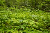 pic of vegetation  - This is a photo of the forest vegetation on a rainy day in the Appalachian Mountains - JPG