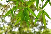 stock photo of bamboo leaves  - beautiful green bamboo leaves  in a jungle background close - JPG