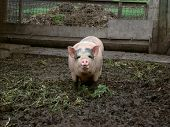 stock photo of pig-breeding  - pig behind the fence looking for food view from the swine farm - JPG