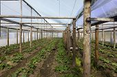 pic of tomato plant  - tomato and cucumber plants in a greenhouse - JPG