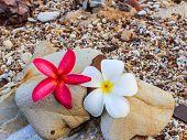 picture of frangipani  - Plumeria spp - JPG