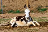 picture of jackass  - Portrait of a donkey resting on the sand - JPG