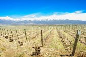 image of andes  - Vineyard and the Andes mountains in the Uco Valley Mendosa Region Argentina - JPG
