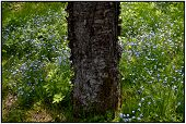 stock photo of orchard  - The tree in the orchard is a large number of small - JPG