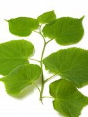 stock photo of linden-tree  - Spring sprig of linden - JPG