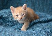 stock photo of buff  - Red buff striped kitten on blue blanket looking upward - JPG