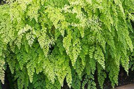 pic of fern  - Fern full frame background - JPG