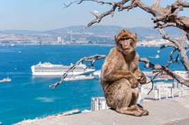 image of macaque  - Barbary macaque monkey in Gibraltar on a wall - JPG