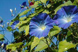picture of ipomoea  - blue ipomoea in garden close up shot - JPG