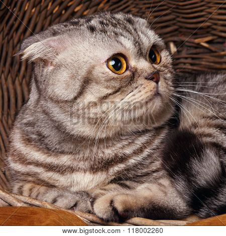 bicolor stripes cat with yellow eyes Scottish Fold Sits in a wooden basket