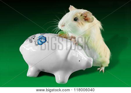 Guinea pig  saving money in piggy ceramic money box