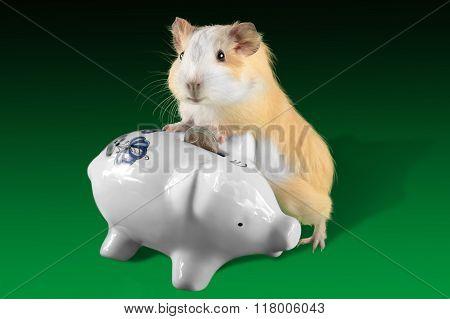 Guinea pig  saving money in piggy money box