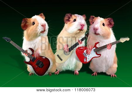 Three guitarist Guinea pig is playing on a guitar