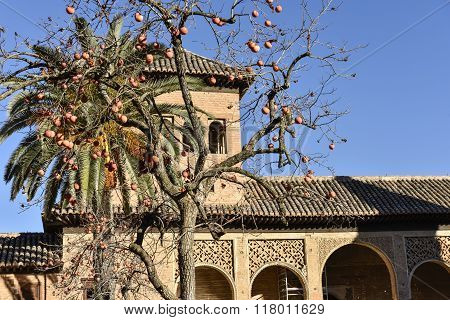 Persimmon in the garden of the Alhambra