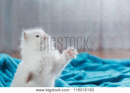 Ragdoll Blue Point Kitten