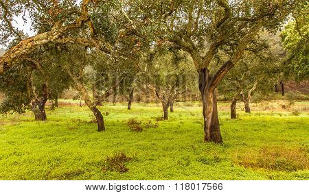 Cork Trees Natural Resources Landscape In Portugal