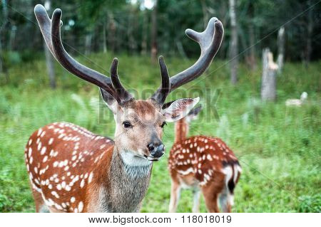 A Pair Of Young Spotted Deer In A Green Forest. One Of The Deer With Branching Antlers Thick.