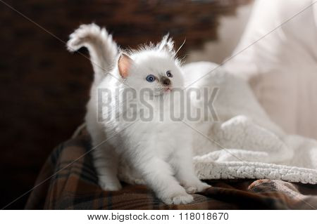 Ragdoll Blue Point Kitten