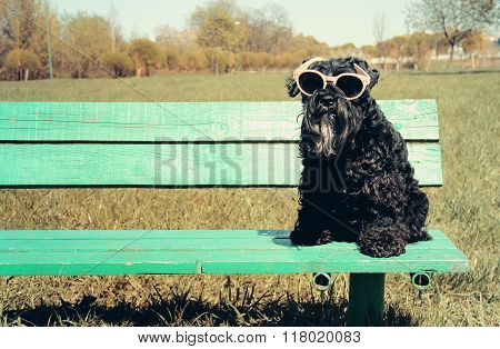 Miniature Schnauzer With Sunglasses
