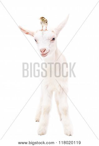 Portrait of a little goat with a chicken on head