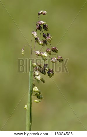 Common Quaking Grass - Briza Media