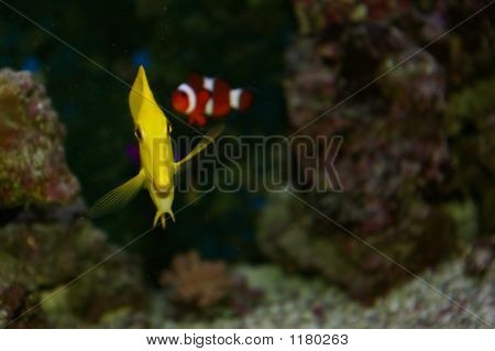 Yellow Tang And Clownfish
