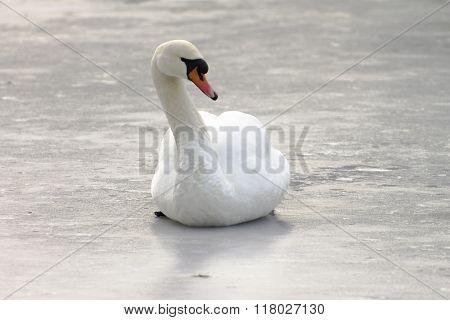 Mute Swan On The Ice, Winter