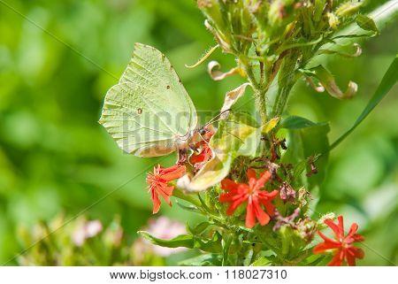 Common brimstone (Gonepteryx rhamni) on the flower Lychnis chalcedonica