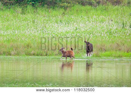Deer run to water Khao Yai National park Thailand